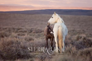 Wild horse photography by Sierra Luna Photography -- wild mare and her foal