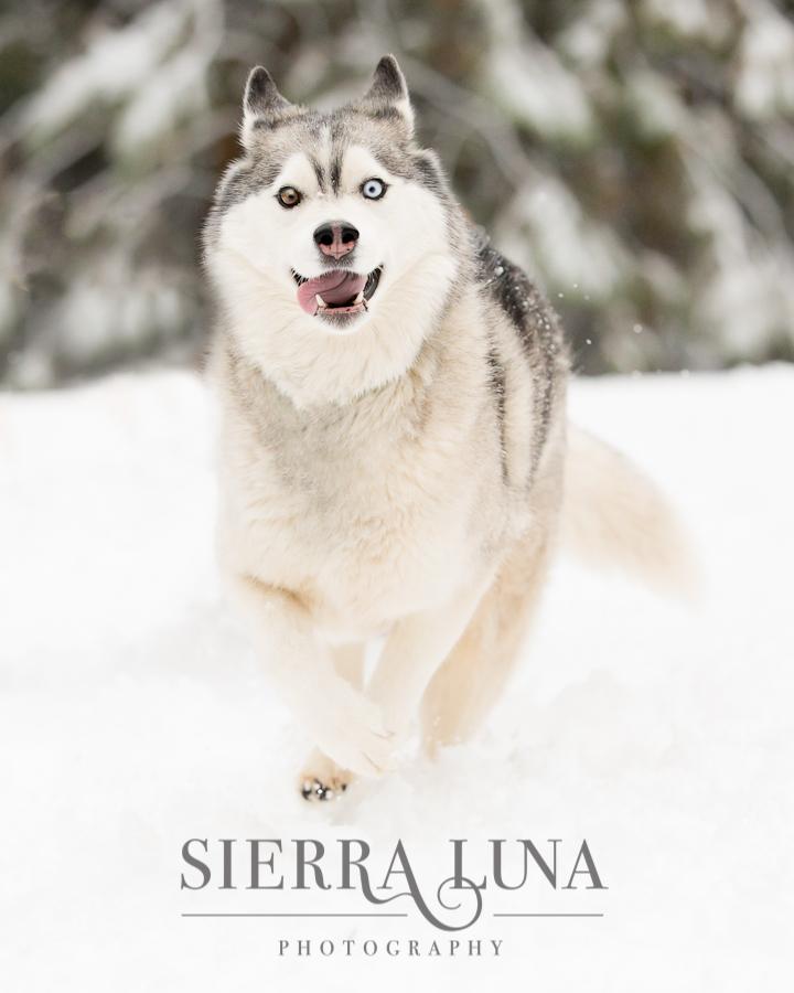 Vesta running in the snow