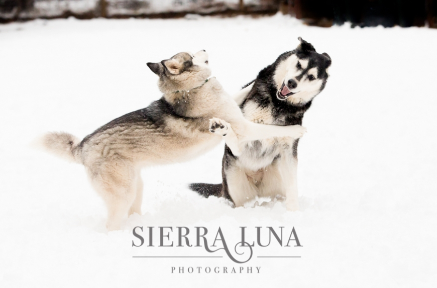 Vesta and Luna playing in the snow
