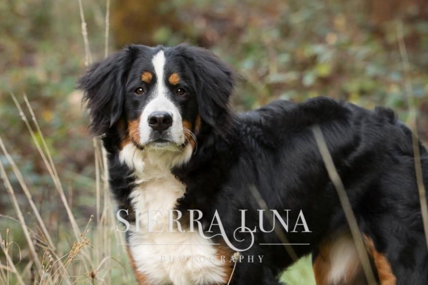 Cameron Park pet photography bernese mountain dog outdoors location