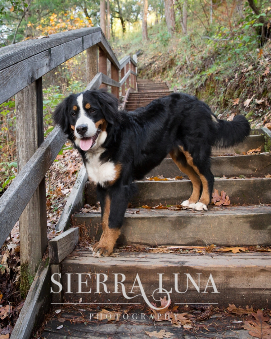 El Dorado Hills pet photography bernese mountain dog outdoors