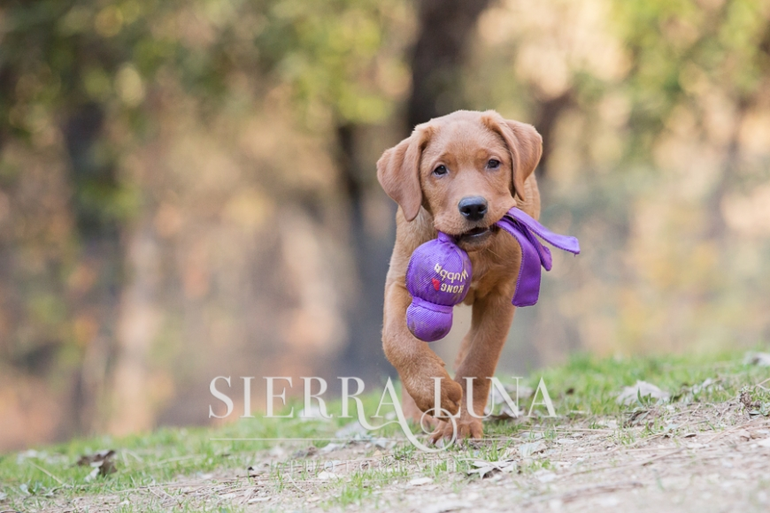labrador puppy playing pet photography el dorado hills
