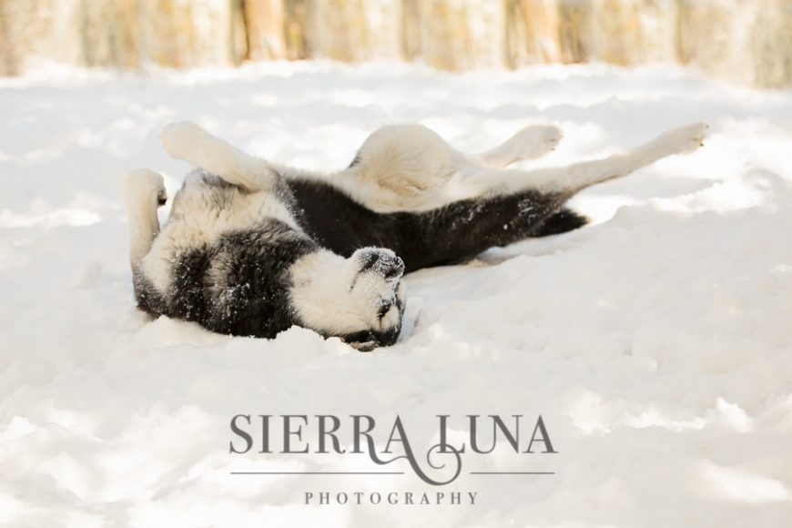 Luna the husky mix making a snow angel