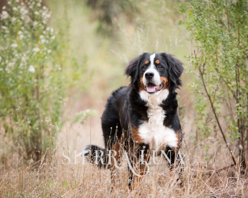 Sacramento pet photography bernese mountain dog outdoors