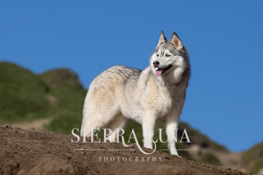 siberian husky pet photography sacramento portrait blue sky